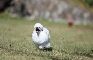 走るケネルラムクリップの白いトイプードル