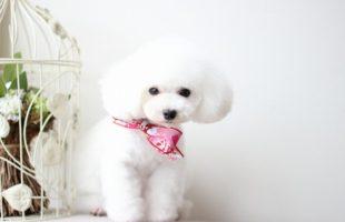 ホワイトプードル茉莉花ちゃん