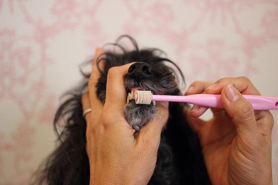 歯磨き中のプードル