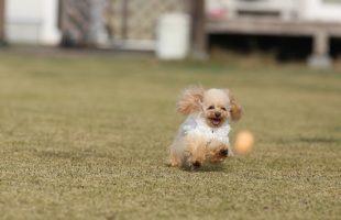 ボールを追いかけるプードル