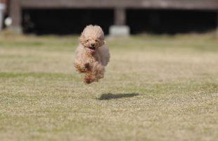 飛行犬クレア
